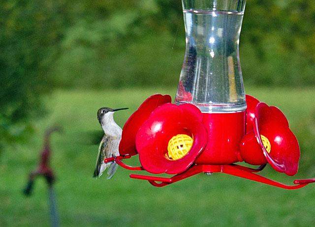 hummingbird-male-2
