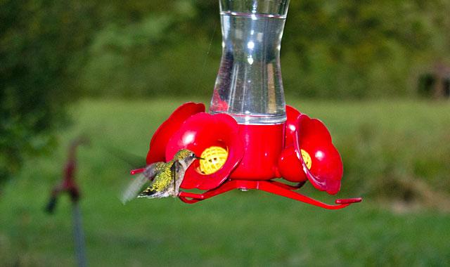 hummingbird-male