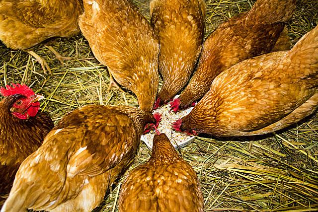 suet-n-chickens