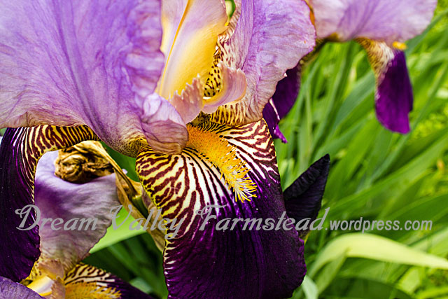 purple-iris-closeup.jpg
