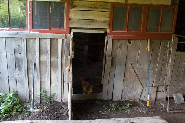 barnyard chickens 01