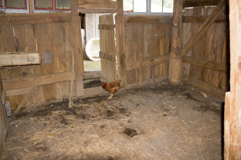 barnyard chickens 03