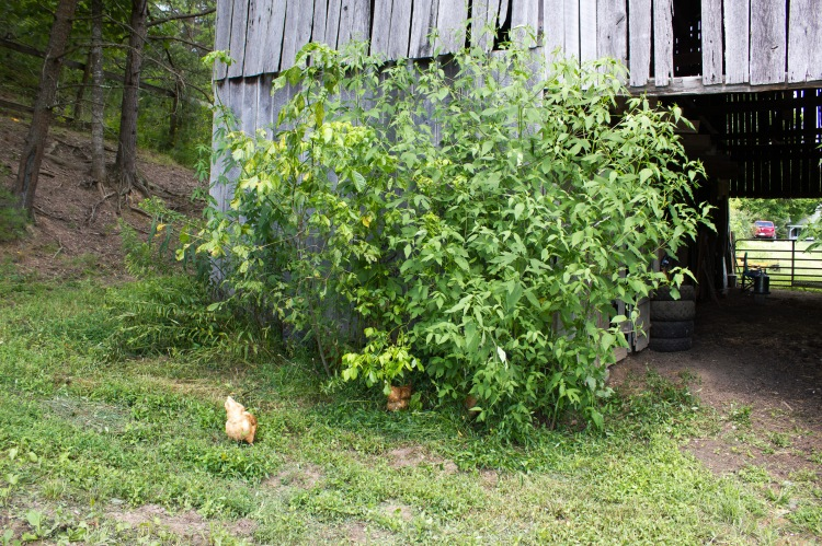 barnyard chickens 11