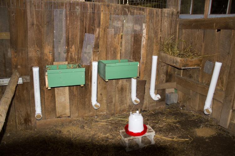 barnyard chickens 13