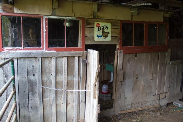 barnyard chickens 16