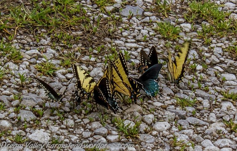 butterflies 02