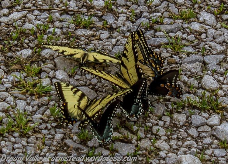 butterflies 05