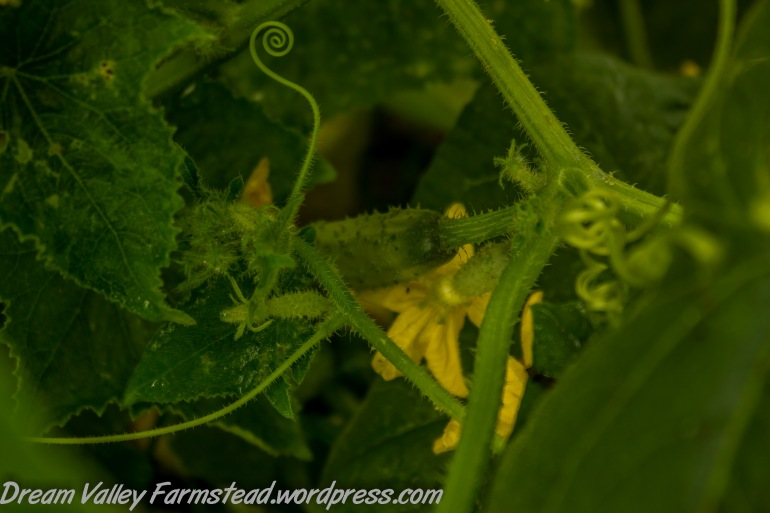 cucumbers 06
