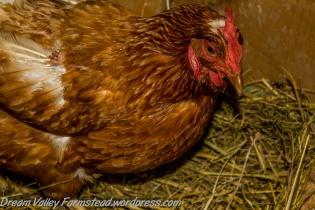 Chicken Littles 8